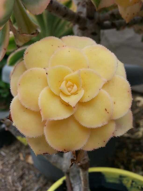 A Woman: Soft, Beautiful, Inviting and Sharp! This is a succulent in my yard.