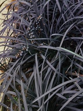 Ophiopogon - Nigrescens (Black Mondo Grass) - combine with existing coral bells in the Daphne contianer to crowd out weeds, add more texture-color contrast. (Thicket)