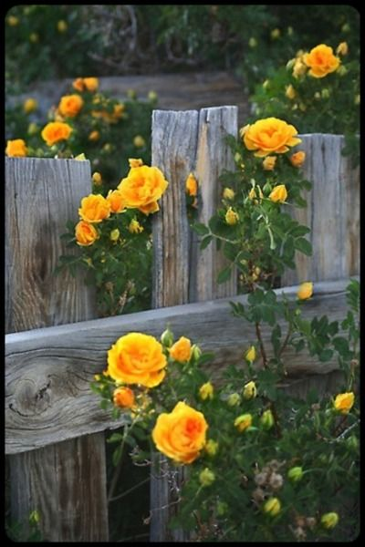 Yellow Rose of Texas.  Would love to have this bush in my backyard for MD!