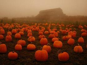 Misty Pumpkin Patch
