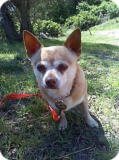 Creston, CA - Chihuahua. Meet Kahuna, a dog for adoption. http://www.adoptapet.com/pet/10122775-creston-california-chihuahua