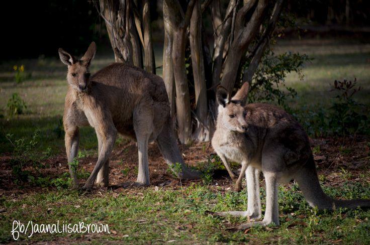 Family of Kangaroos, Wacol Train Station, Wacol.  #studentphotographer #JaanaLiisaBrown #wacol #Nikon #NikonD5000 #shooteveryday #wildlife #naturephotography #thisiswhytheworldthinksweridethem #kangaroos  www.jaanaliisabrown.com www.facebook.com/jaanaliisabrown