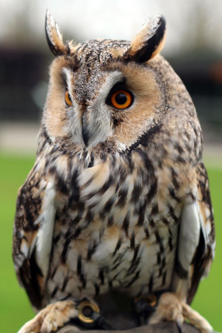 British Owls | THE SCREECH OWL SANCTUARY