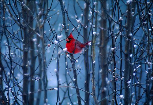 cardinal in snow: Winter Scene, Red, Natural Beautiful, Blue, Birds Paintings, Pretty Birds, Animal Pet, Happy Holidays, Cardinals
