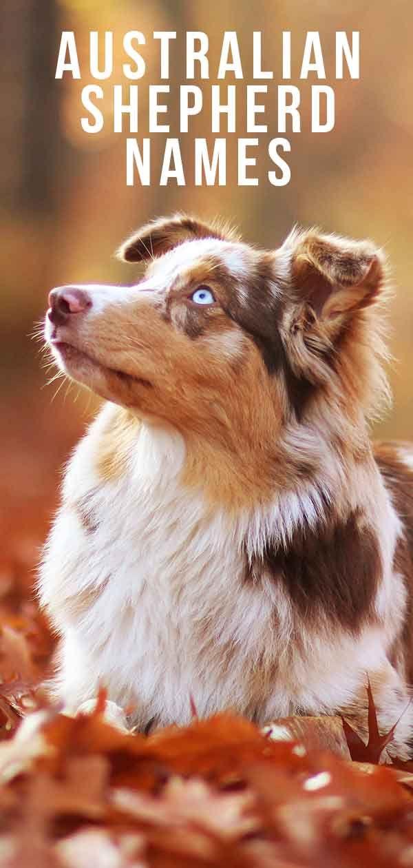 Australian Shepherd Names – 200 Amazing Aussie D…