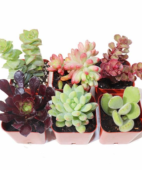 Collection of 3 Assorted Collection of Live Air Plants Shop Succulents Hand Selected Variety Pack of Air Succulents