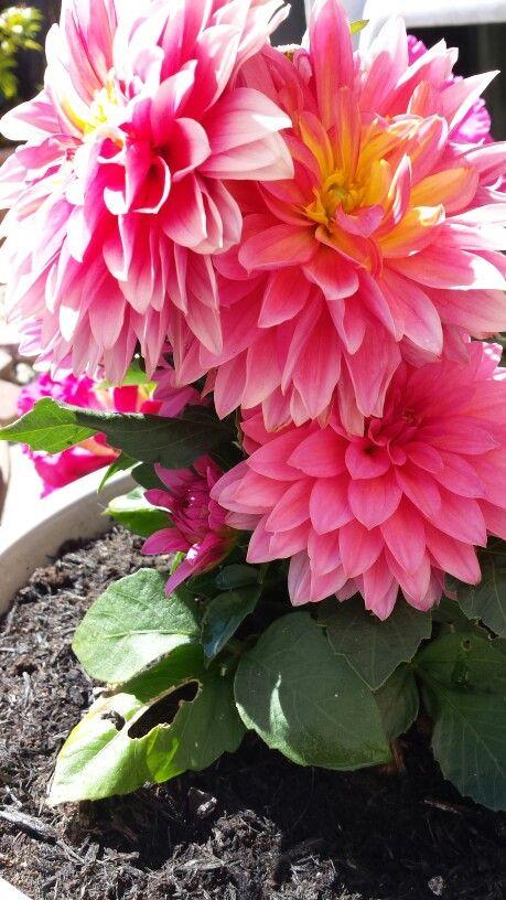 #dahlia #summer #hotpink #flowers #pretty #juneinbloom