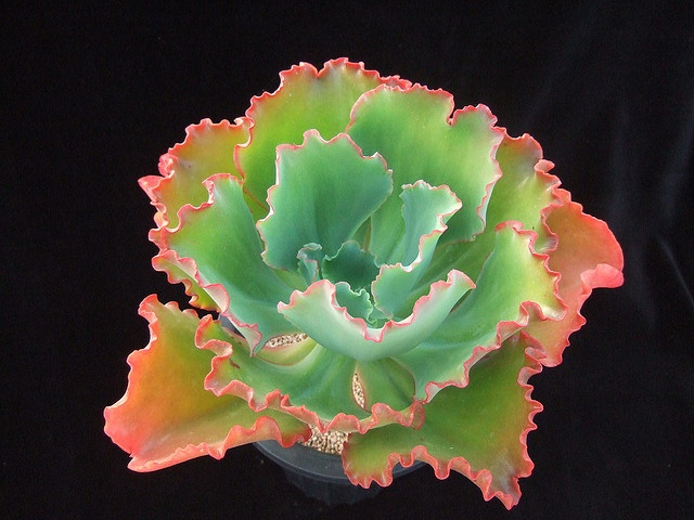 3869 best plants cool unusual impressive or beautiful images on pinterest plants - Cool succulent plants ...