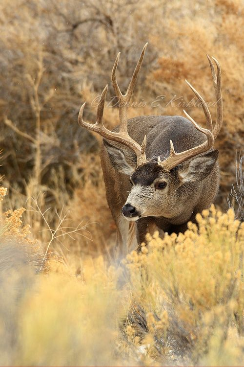 Mule Deer Buck- I have many of these as friends in my neighborhood. Luv them!