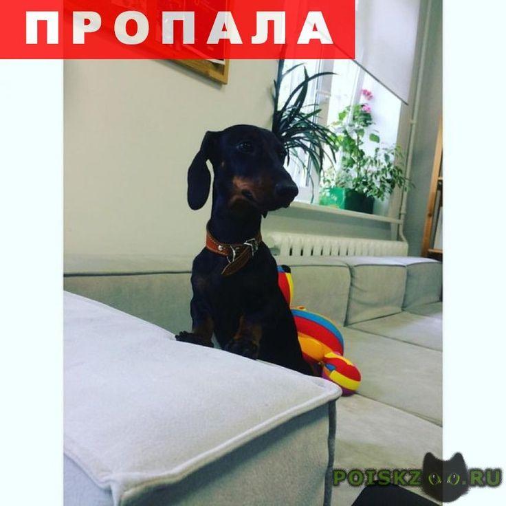 Пропала собака такса г.Санкт-Петербург http://poiskzoo.ru/board/read23871.html  POISKZOO.RU/23871 пропала такса карликовая .. месяцев зовут пуля. убежала с поводка. бегает по району ленинский проспект маршала казакова кузнецова доблести и в этом районе. боится людей! большая просьба поймать и позвонить по номеру ... или ...  РЕПОСТ! @POISKZOO2 #POISKZOO.RU #Пропала #собака #Пропала_собака #ПропалаСобака #Санкт #Петербург #СанктПетербург #СПБ #Санкт_Петербург