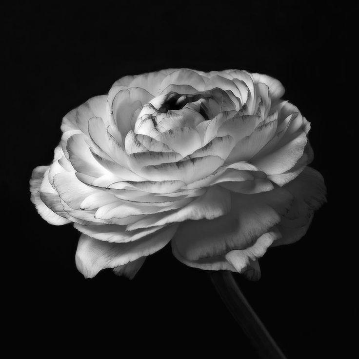 black-and-white-rose-flower