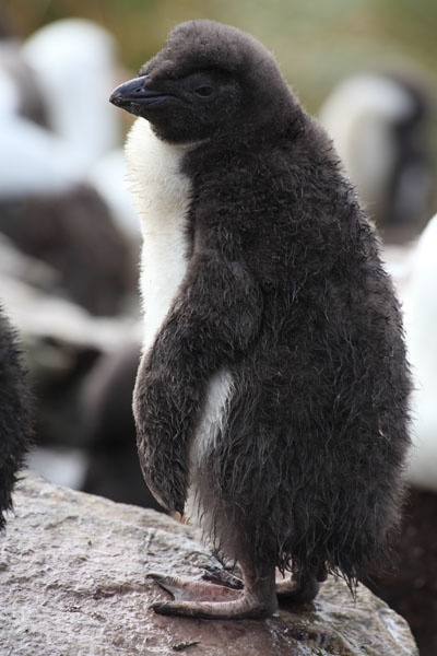 17 Best images about Penguins... Because, PENGUINS. on ...