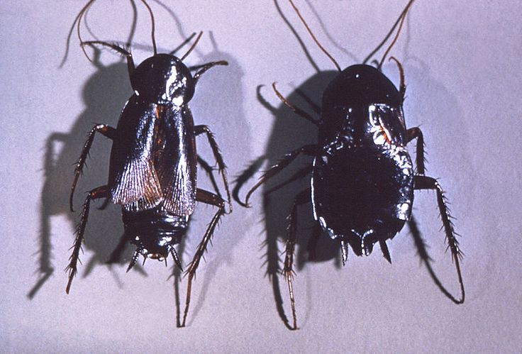 doğu hamam böceği