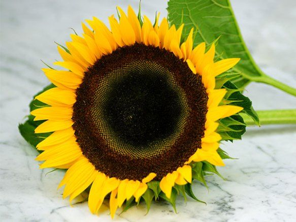 Growing Sunflowers How To Plant Grow And Take Care Of Sunflowers Growing Sunflowers Planting Sunflowers Plants