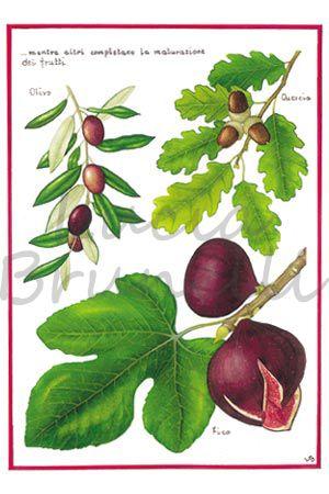 Piante, foglie, frutti di fico,ficus carica, olivo,olea europea, quercia, quercus pubescens. Questa illustrazione fa parte del progetto completo dell' Agenda dell'albero. Chiedi informazioni www.luciabrunelli.com