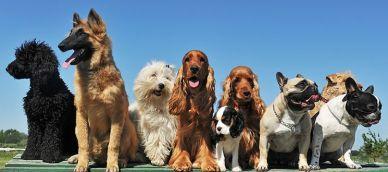 Las 5 razas de perro más inteligentes