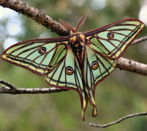 This Spanish moon moth is flaunting his good looks in the handful of days he has left to live. Unable to eat after emerging from his cocoon, the adult devotes all of his remaining time and energy to reproduction.
