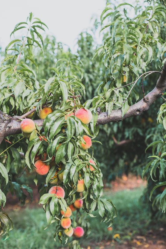 Just Peachy: A Farm to Table Cocktail Straight from My Visit to a Peach Orchard - Paper and StitchPaper and Stitch