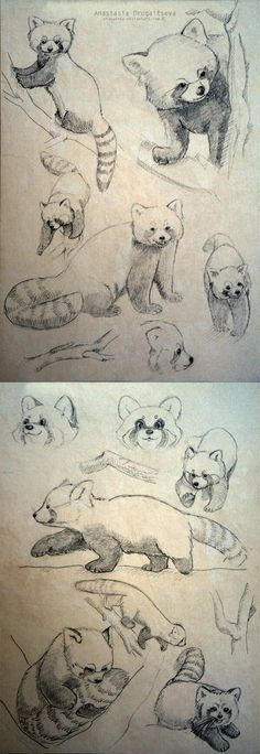 Red Panda sketches by Stasushka.deviantart.com on @deviantART