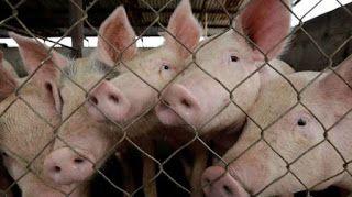 Ένα βήμα πιο κοντά στη μεταμόσχευση οργάνων από γουρούνια σε ανθρώπους