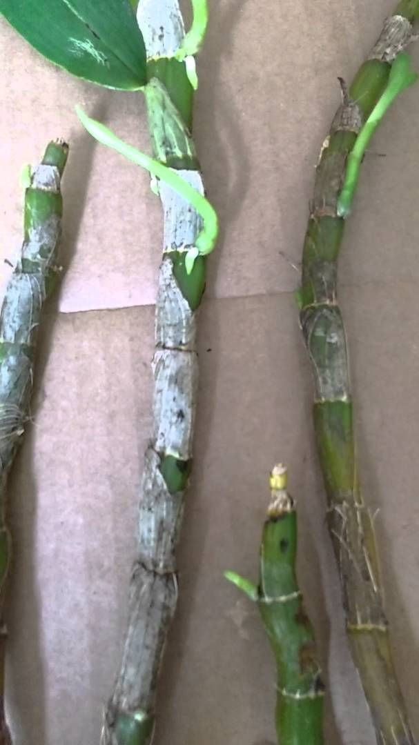 Cultivo da orquídea Dendrobium Nobile, olho de boneca.