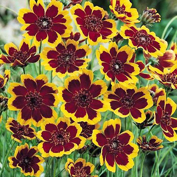 Brunette Cosmidium seeds - Garden Seeds - Annual Flower Seeds