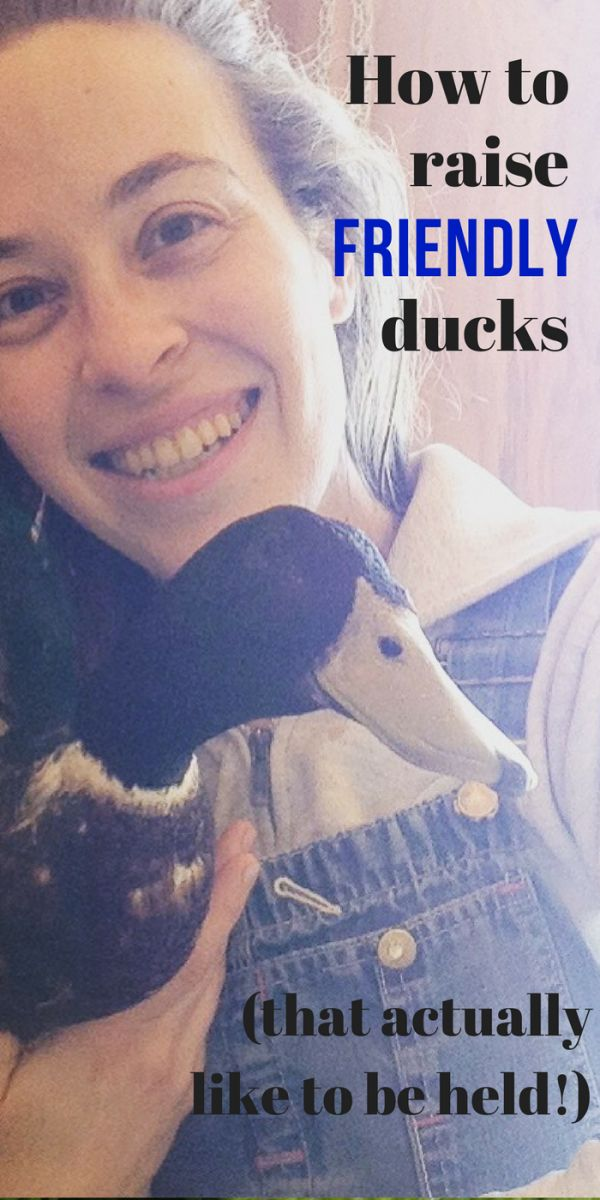How to raise friendly ducks, that actually like to be held! It's easy to raise friendly ducks that enjoy spending time with you if you follow these 6 tips! via @saltinmycoffee