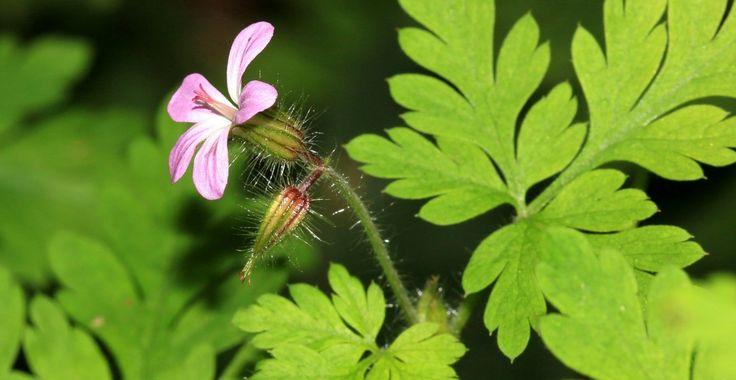 Năpraznicul, miros neplăcut, dar proprietăți multi-vindecătoare | Paradis Verde