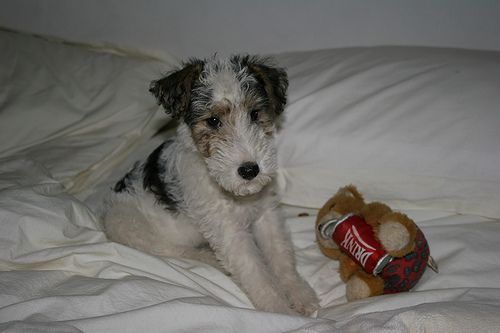 Wire Fox Terrier puppy : This picture was taken the day Norman arrived at our home. His breeder sent him to us with that little teddy bear.