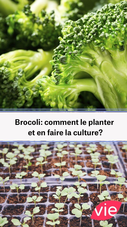 Comment Planter Des Asperges brocoli: comment le planter et en faire la culture