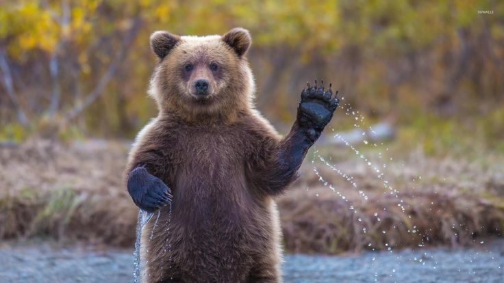 Bear Cubs Wallpaper 12346 1600x900 - uMad.com