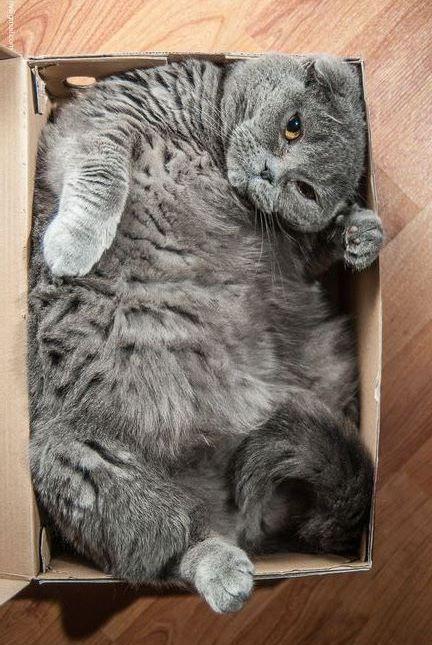 Typisch Katze! Ich passe in den Karton, komme was wolle....