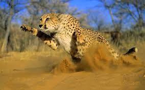 77b42287098a52a144e4736a4e6632fc cheetahs big cats - Happy Valentine Day: Lion Images
