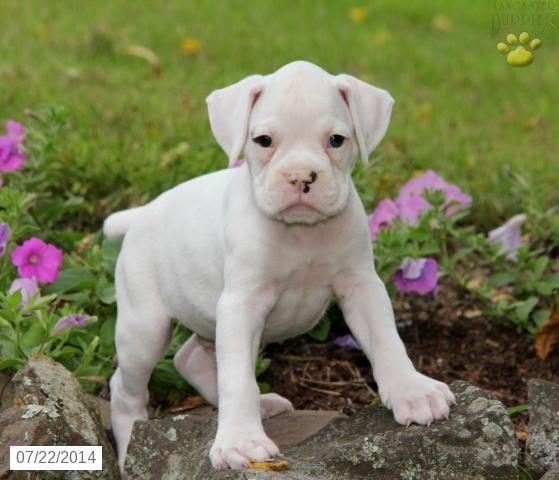 Boxer Puppy for Sale in Pennsylvania Boxer Pinterest