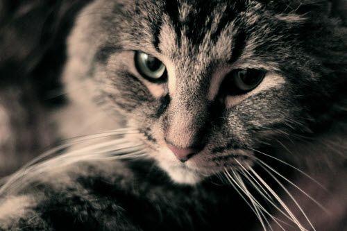 Saviez-vous que les chats ont une mission dans notre vie ?  La plupart des gens pensent que les chats ne font rien, sont paresseux et qu'ils ne font que manger et dormir.  La vérité est toute autre !  Vous êtes vous déjà demandé pourquoi tant de gens ont des chats de nos jours, bien plus que le nombre de personnes ayant des chiens ?  Voici quelques données que vous devez connaître sur la vie secrète des chats.