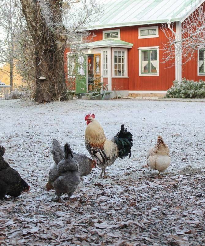 Hedemorahöns i trädgården. Foto: Erika Åberg