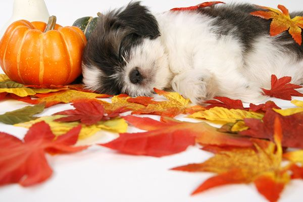 9 Insanely Adorable Photos of Puppies and Pumpkins