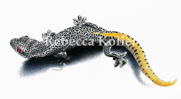 Golden-tailed Gecko coloured pencil on paper www.wildlifeartist.me
