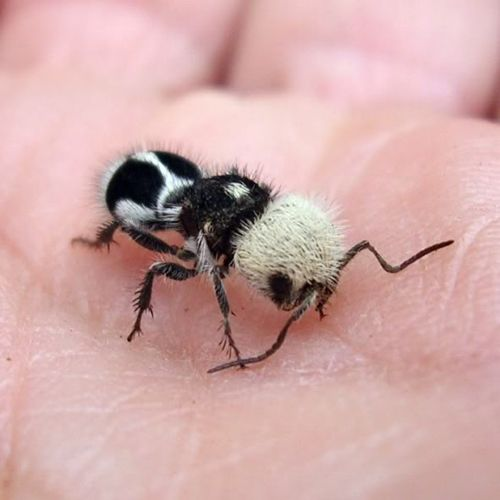 panda ant, Euspinolia militaris. AiN'T she cute? :P FROM: http://www.thefeaturedcreature.com/2013/09/this-panda-ant-will-bamboozle-you-about-its-true-identity.html