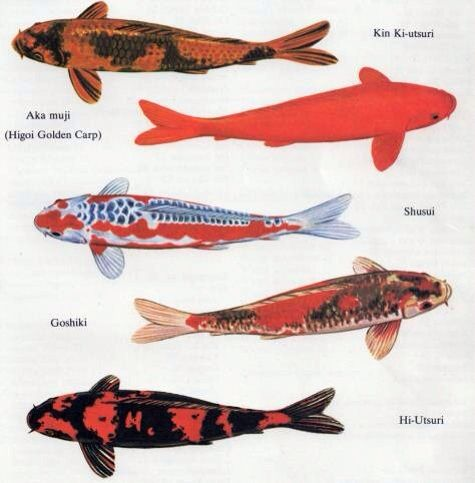 67 best koi images on pinterest koi carp pisces and koi for Koi carp varieties
