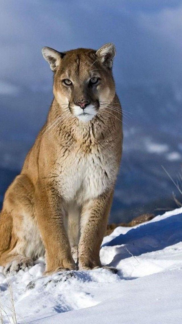 animals, puma, feline, winter, landscapes, cougars
