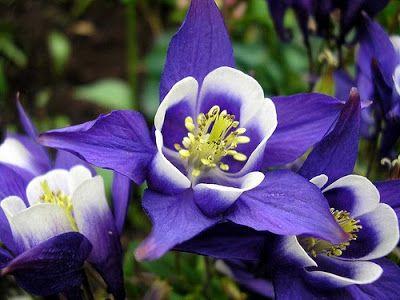 Purple Narcissus Flower | Red Columbine Flower