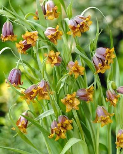 Kockásliliom - FEXIN Virághagyma Webáruház virághagymák, virághagyma rendelés, virághagyma, holland virághagyma, virág, gumós virágok, hagymás virágok, tavaszi virágok, nyári virágok, őszi virágok, különleges virágok, kerti virágok, cserepes virágok, dughagyma, tulipán, tulipánhagyma, tulipánok, nárcisz, amarillisz, díszhagyma, jácint, krókusz, virághagyma, virághagymák