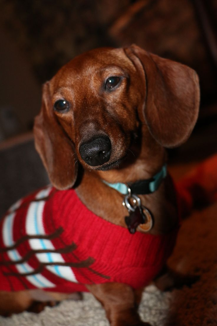 Our loving Chase sporting his red Christmas Sweater for dogs! Red Short-haired Dachshund, Doxie, Weiner Dog, Hound, Burrow Dog, Short-legged Dog.