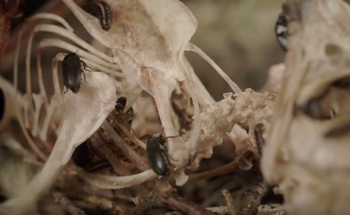We might spend our days trying to ignore thoughts of our death and transient fleshy existence, but the science of death is inseparable from the science of life – and just as interesting! In this Halloween special from Deep Look, we take a look at flesh-eating beetles, decomposition and the art of preserving dead animals.