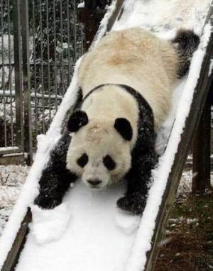 Weeeeeee!:  Pandas Bears, Pandas Sliding, Snow, Funny,  Ailuropoda Melanoleuca, Pandabear,  Coon Bears, Giant Pandas, Animal