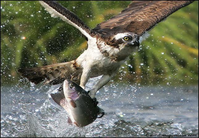 Fondo de Aguila cazando un Pez en Fondos y Pantallas
