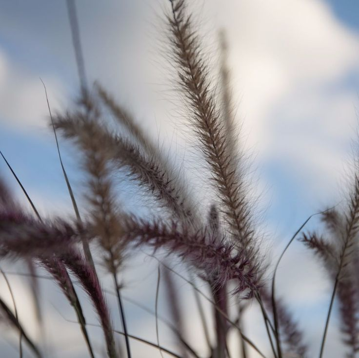 Fuzzy fox tails blowing in the wind. Always love getting the light through these plants they always kinda glow. #photography #photo #photos #capture #ontario #canon #instaphoto #art #artist #5dmarkiv #photodaily #nature #light #agameoftones #tones #blowing #foxtail #glowing