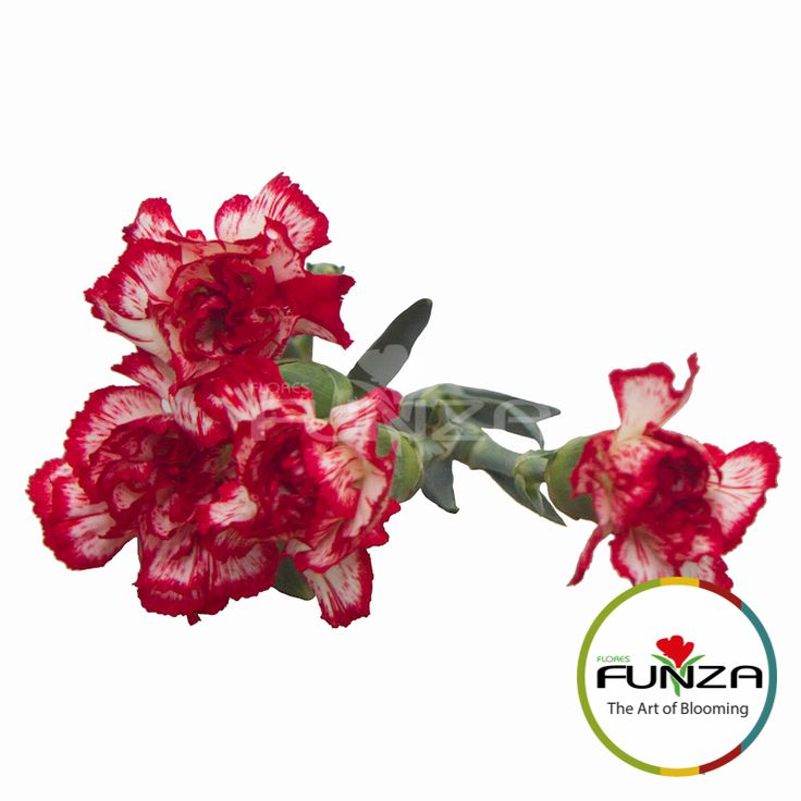 Peppermint Spray Carnation from Flores Funza. Variety: Minuetto. Availability: Year-round.