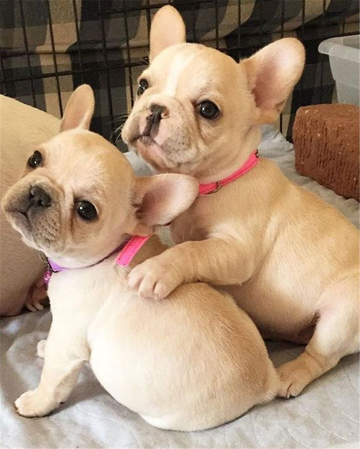 French Bulldog Puppies with pink collar